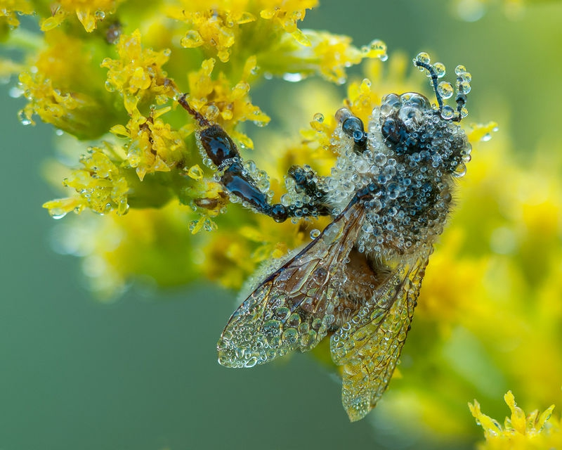 Dew Covered Honeybee