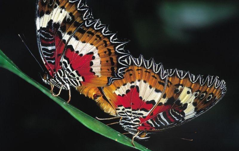 Tropical Butterflies mating