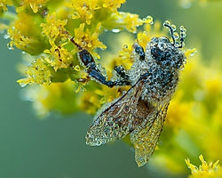 Dew Covered Honeybee (jtmcg)