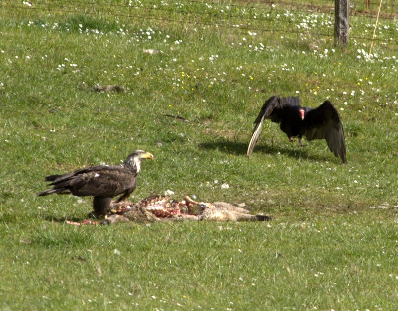 eagle sharing lunch