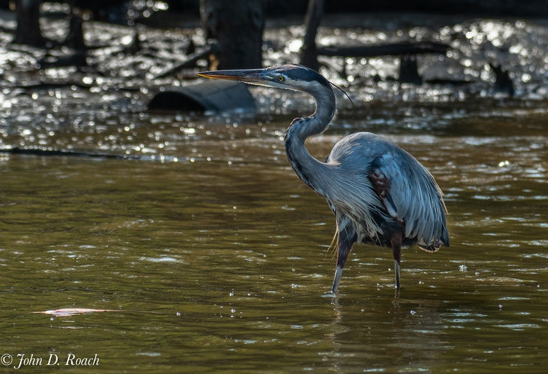 Great Blue Eying a fish