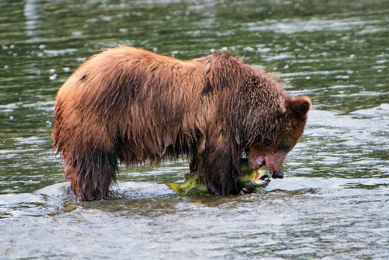 Costal Grizzly & Chum Salmon Feast