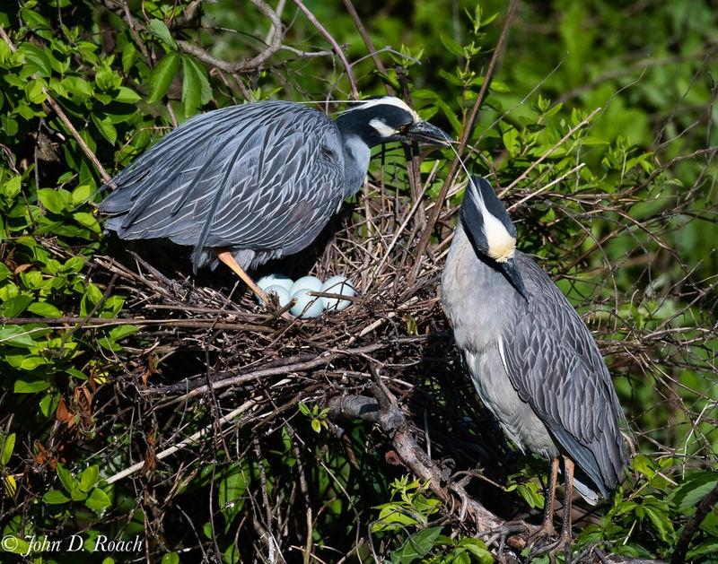 Nesting Pair of Night Herons