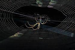Backlit Spider (slopoki1)