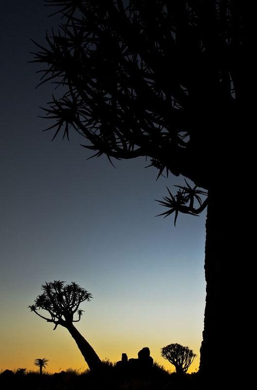 Quiver Tree Sunrise