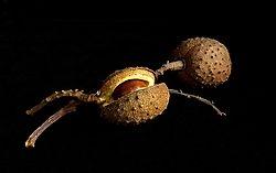 horse chestnut (stevezz1)