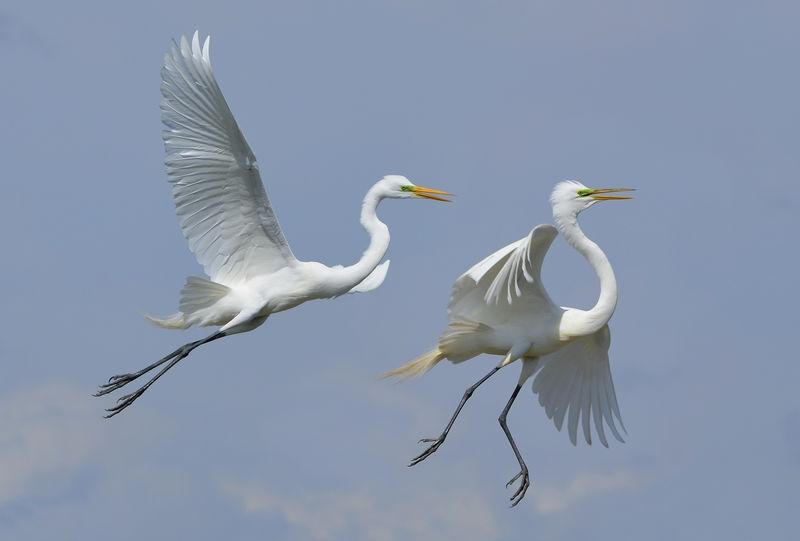 Great Egret Aerial Ballet