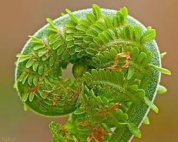 Fern Spiral (Gerard Pas)
