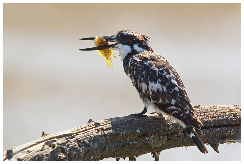 Pied Kingfisher with prey