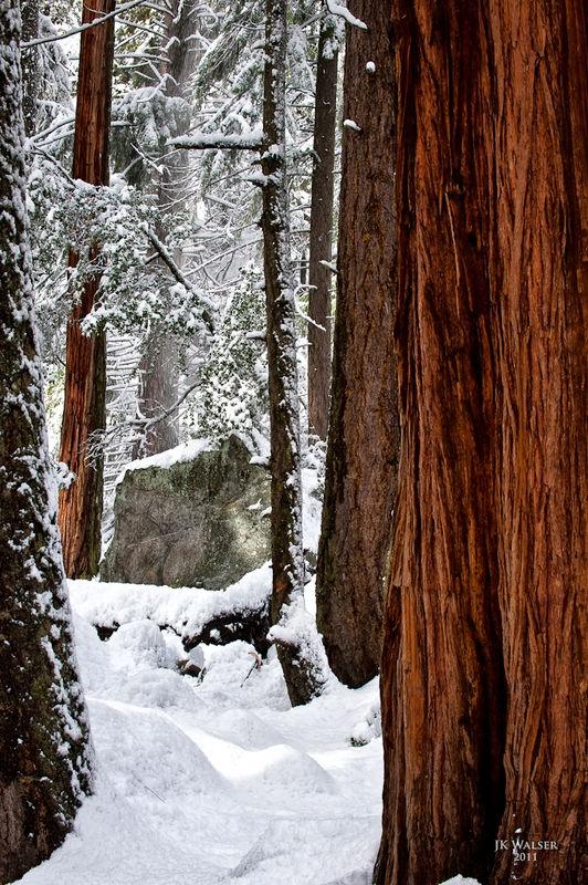 Redwoods in the Snow