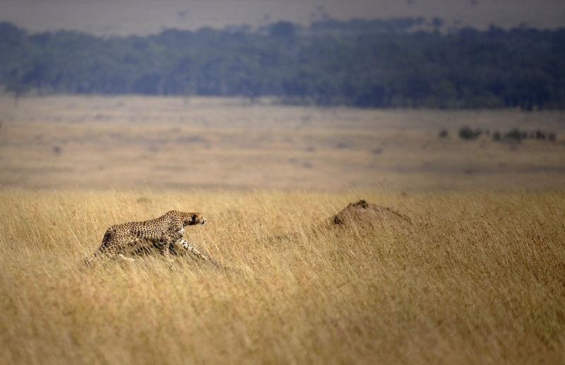 Cheetah poised for kill..... Masai Mara '09