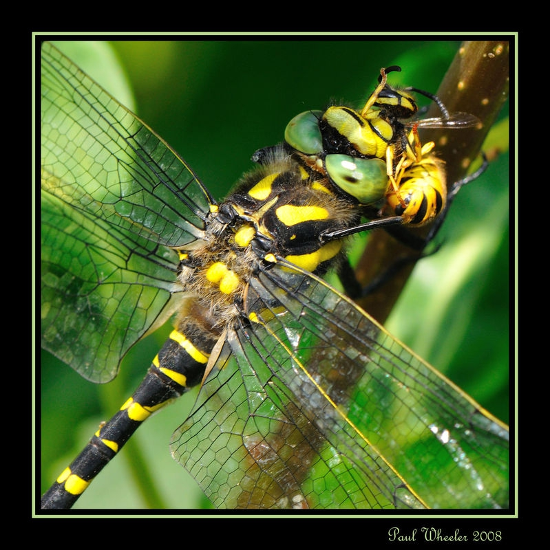 Dragonfly Lunchtime