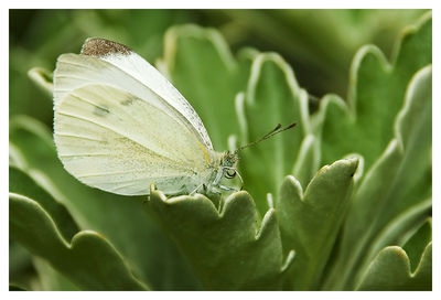 Cabbage White1