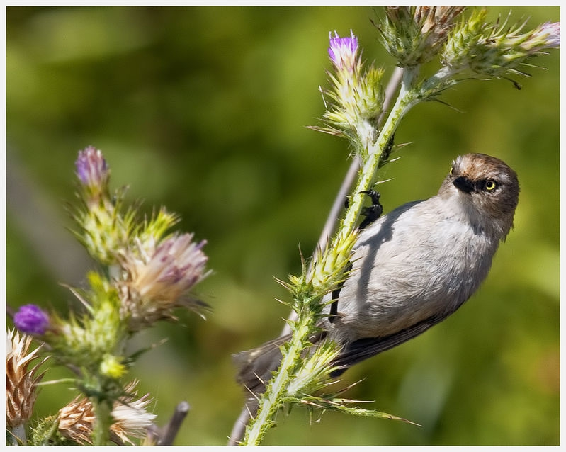 Small  Finch
