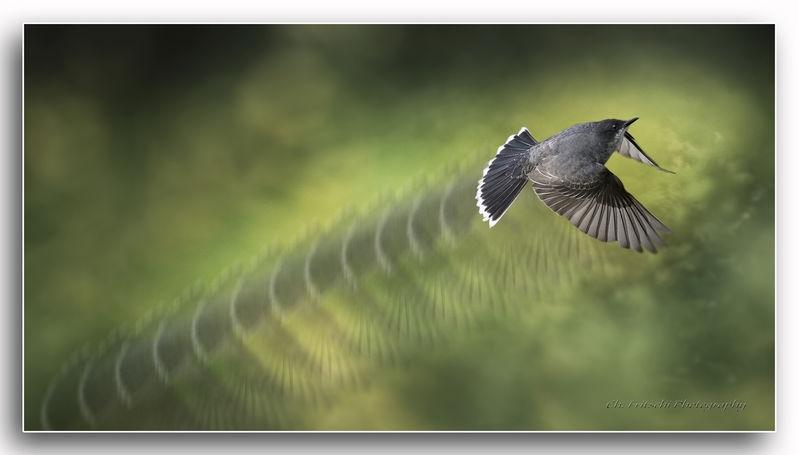 The Flight of the Eastern Kingbird