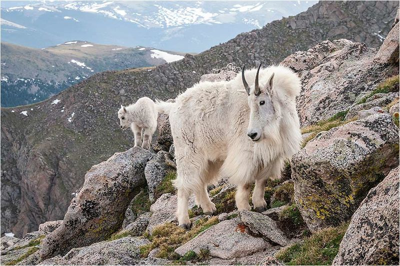 Mountain goat mother and kid