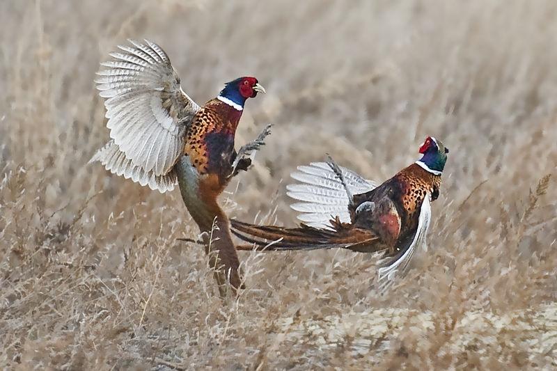 Scuffling pheasants