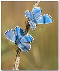 Lycaenidae Butterflies (henbo)