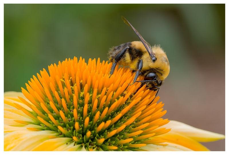 Bumble Bee on Coneflower