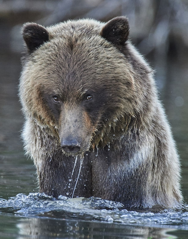 Chilko Valley Grizzly