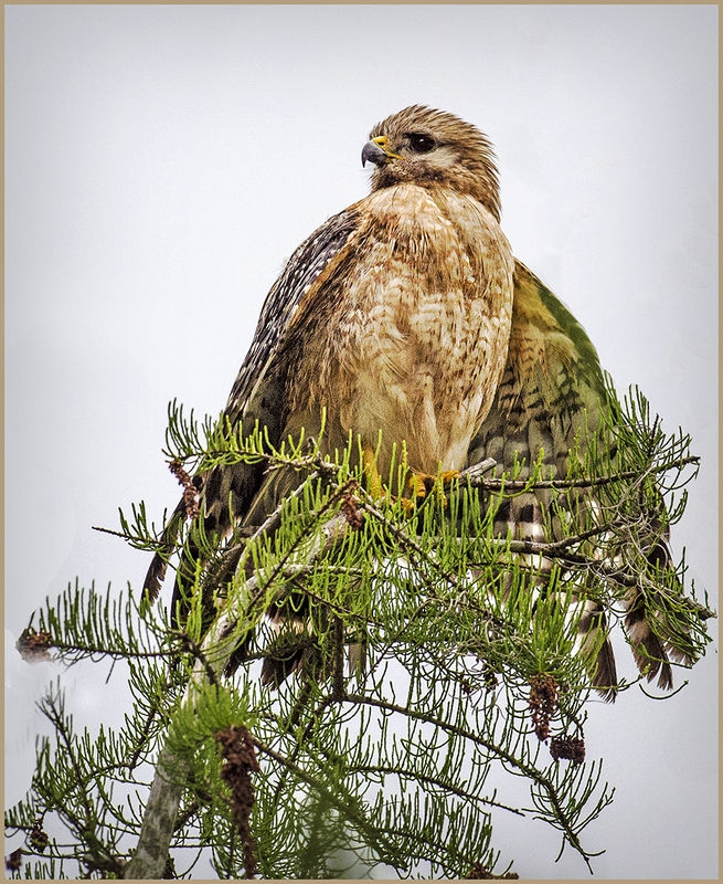 Okefenokee Hawk-cooperative