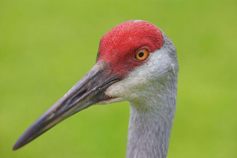 Grus canadensis-Sandhill Crane Portrait