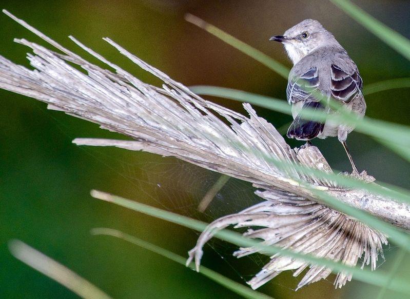 Mimus polyglottos,Mockingbird