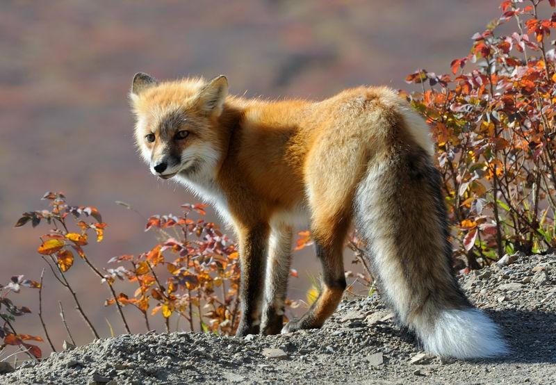 Fox along the Denali Park road