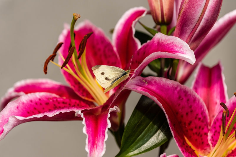 a cabbage white butterfly on an asiatic pink lily