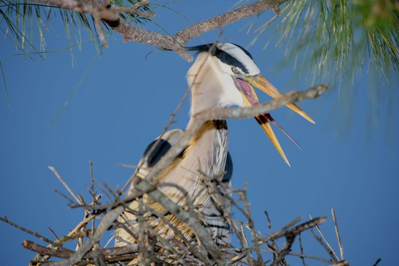 Ardea herodias,The Nictitating Membrane is Clearly visible!!!