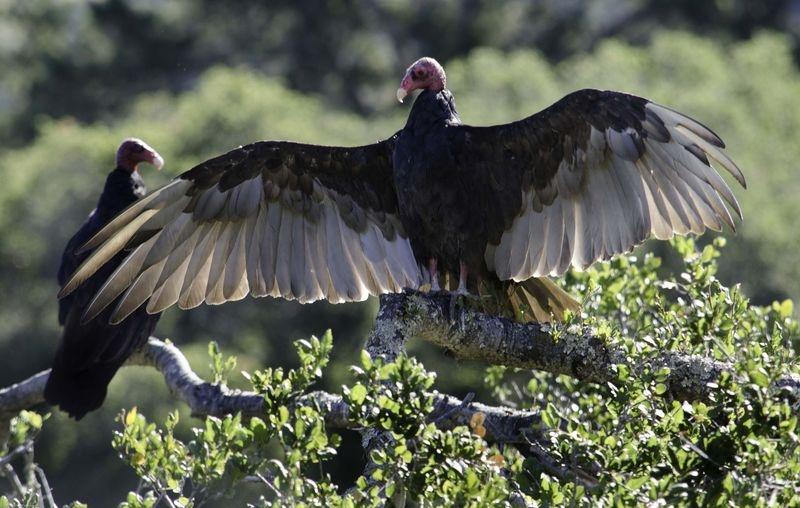 Turkey_Vulture5