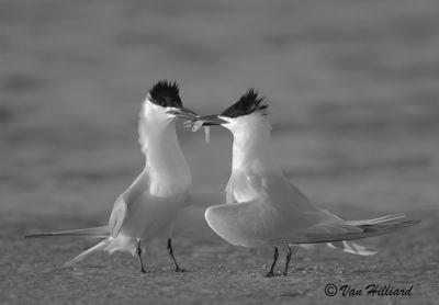 Sandwich Terns in Love