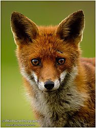 Inquisitive Fox /Phil Pound/
