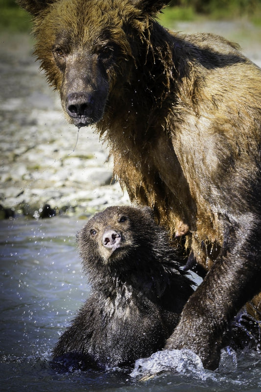 Bears of Geographic Harbour, Katmai