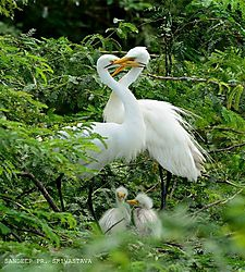 Happy Family: Egrets... /Devrishi/