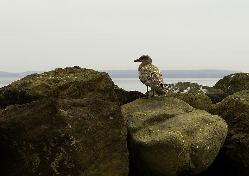 Point Wilson Gull