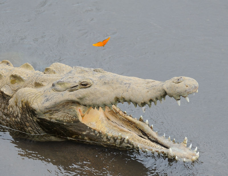Crocodile and the butterfly in Jaco, Costa Rica