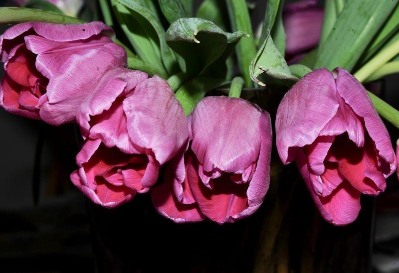 Angry Tulips
