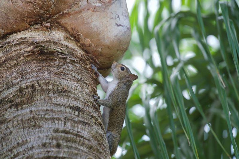 Sciurus carolinensis-Eastern Gray Squirrel