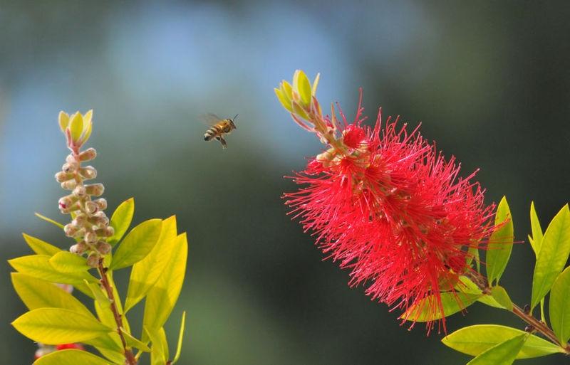 Honeybee on Calistimon