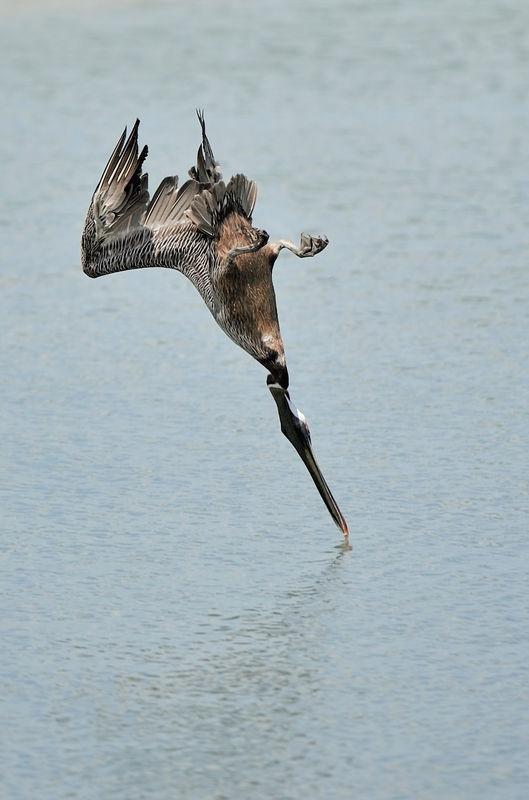 Pelican diving in Aruba