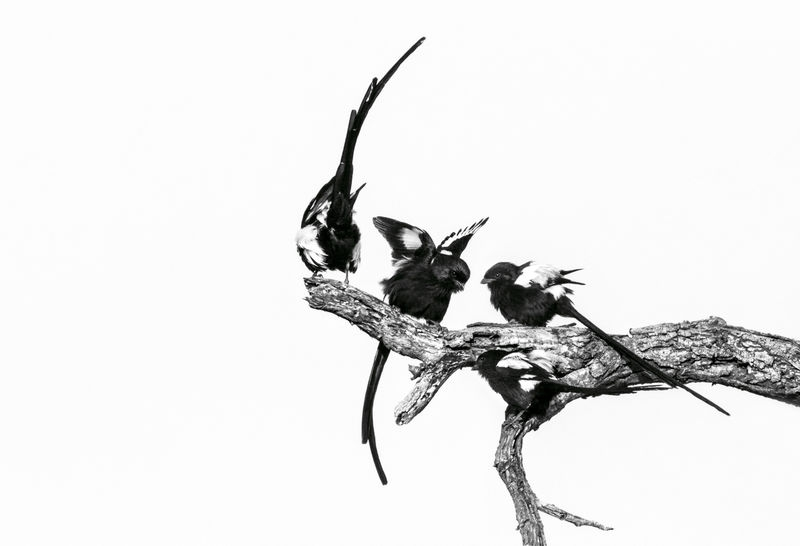 Long Tailed Magpies