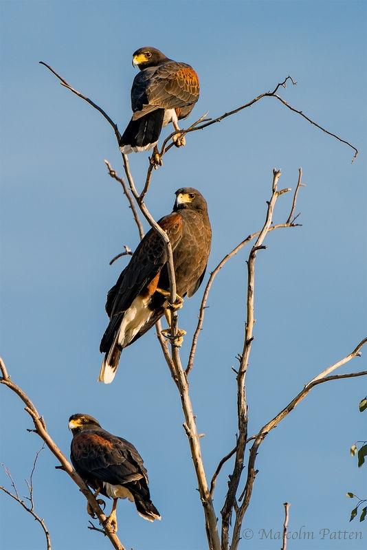 Harris Hawk Trio - Rio Verde Arizona