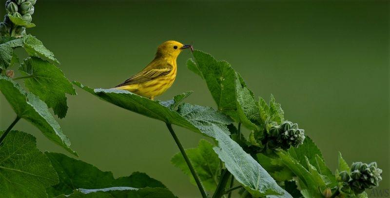 Yellow Warbler & Spider