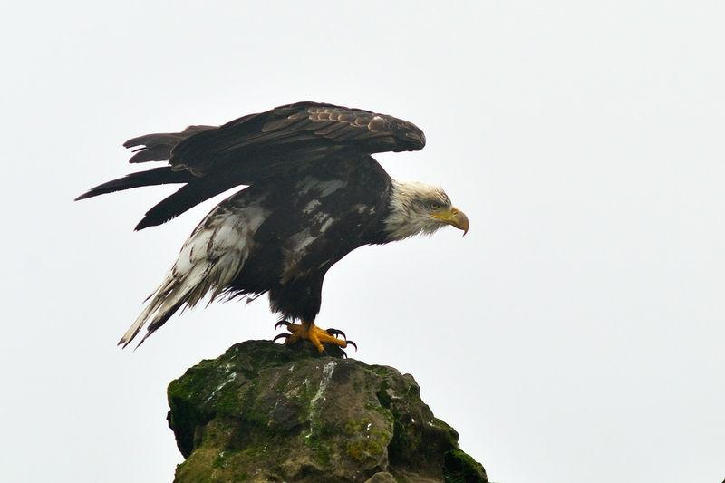 Bald Eagle Flexing it's Wings