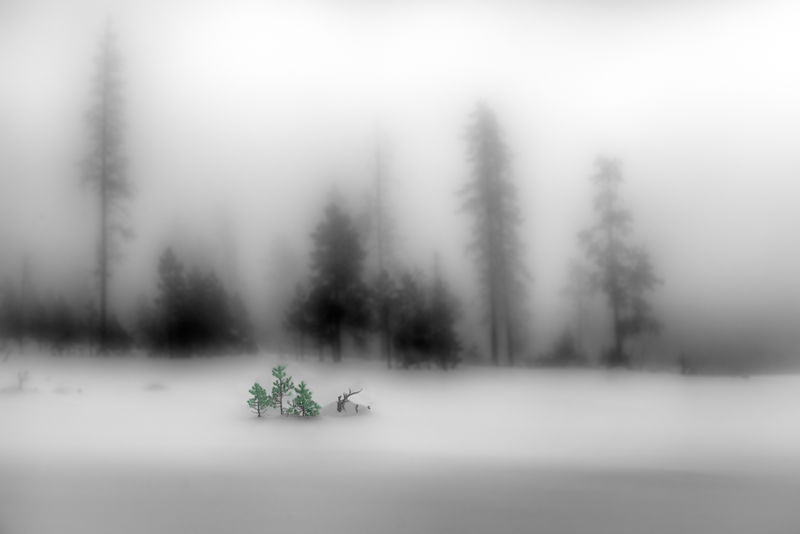 Wee Green Tree, Yellowstone Park