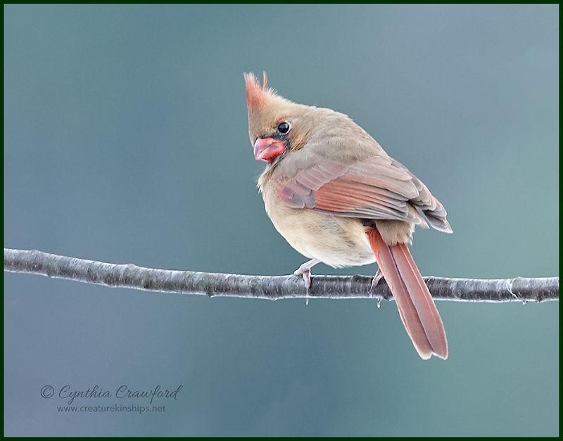Northern Cardinal-female