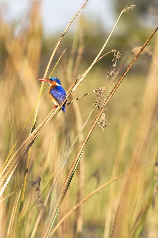 Malechite Kingfisher July Wildlife Contest –  Small Birds