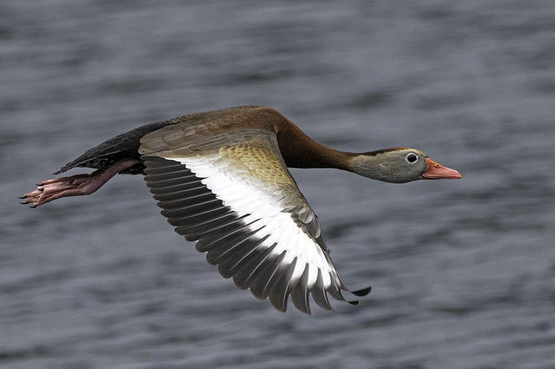 Black Bellied Whistling Ducks