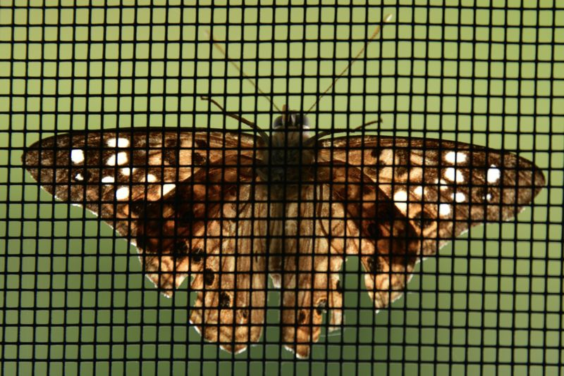 Moth thru screen door.